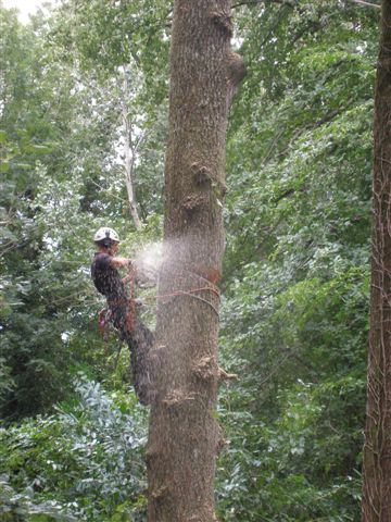58 Section Felling Large Tree-3