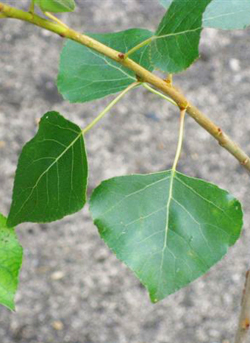 Black poplar leaves
