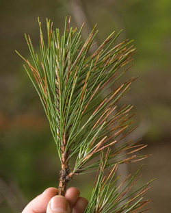 Corsican pine leaves showing red band needle blight
