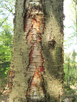 Downy birch tree trunk