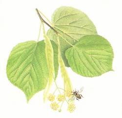 Large-leaved lime leaves