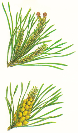 Scots pine flowers