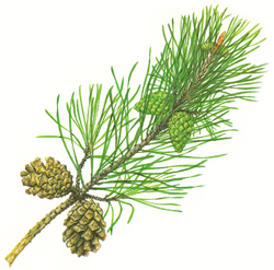 Scots pine leaves (needles)