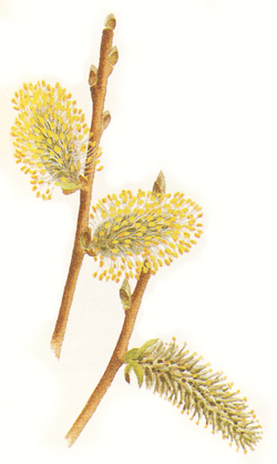 Goat willow flowers